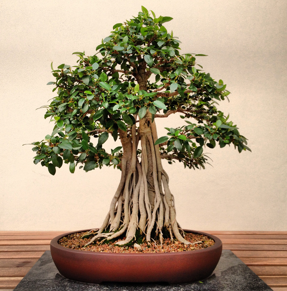 ©AmandaMcKittrick_bonsai 1
