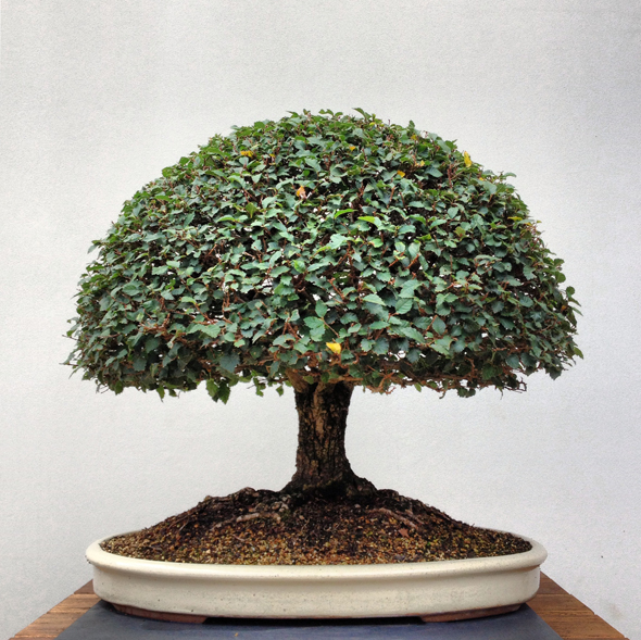 ©AmandaMcKittrick_bonsai 2